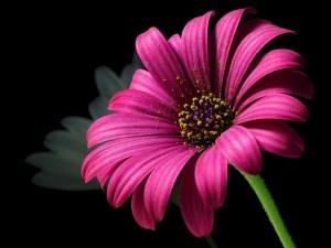 daisy-3416_640