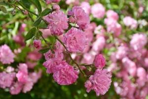 rose-2456139_1920