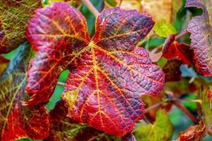 wine-leaf-3674842_1920